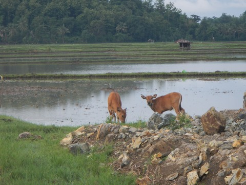 Grazing Buffalo calves are just some of the pleasant sights in Borneo