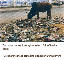 Bull rummaging through waste - full of toxins, India